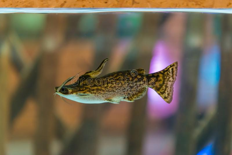 Driftwood Catfish or Trachelyopterus fisher in fish tank royalty free stock photography