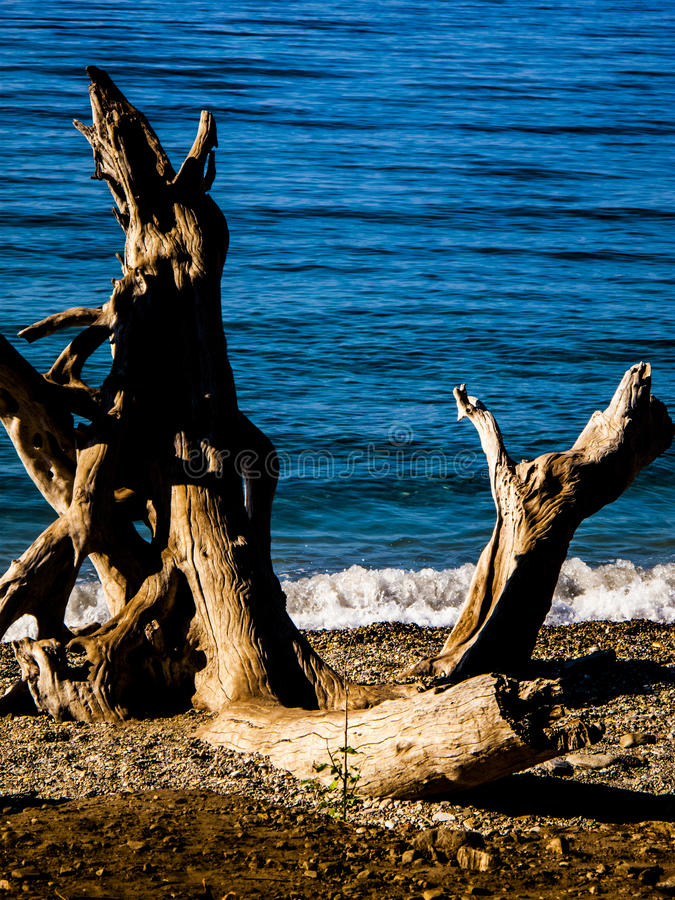 Driftwood. Dead driftwood on a beach royalty free stock photo