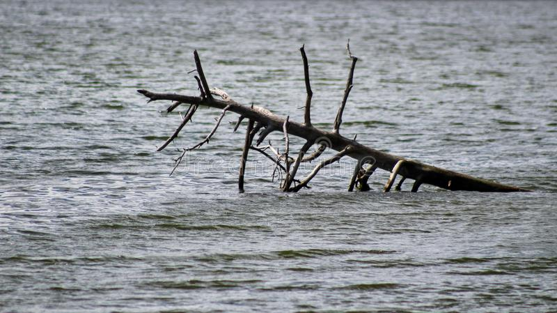 Driftwood. Dead tree in the middle of the river. Nature& x27;s own artwork. Murray River, PEI stock photography