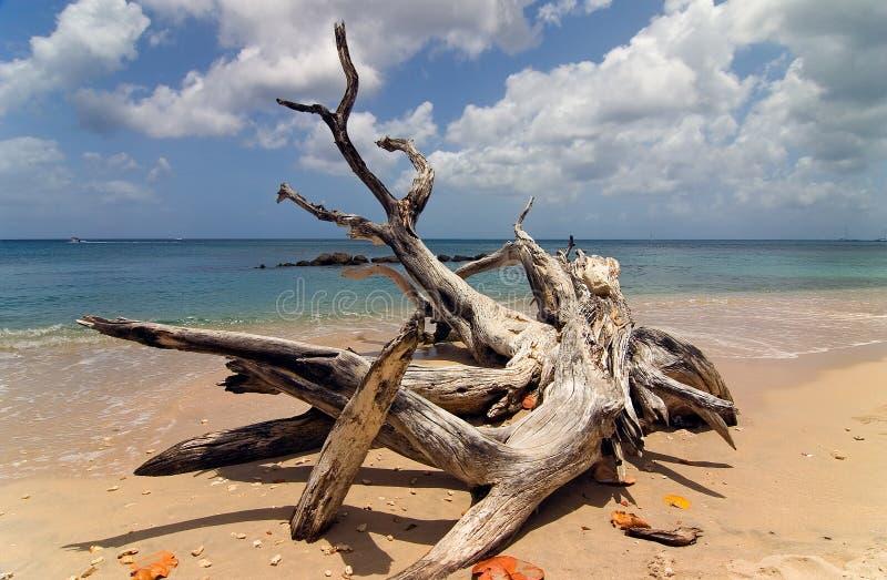 Driftwood en Barbados foto de archivo