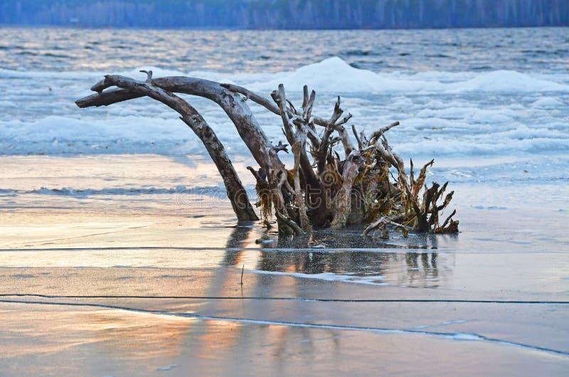 Driftwood marznący w lód na jeziornym Uvildy przy zmierzchem Chelyabinsk region, południowy Ural, Rosja obraz stock