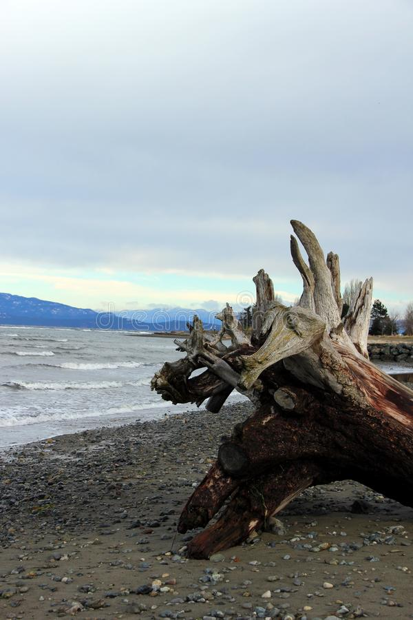 Driftwood root tangle Parksville Community Beach, Parksville, BC. Parksville is a city on Vancouver Island, in British Columbia, Canada. Part of the community stock photography