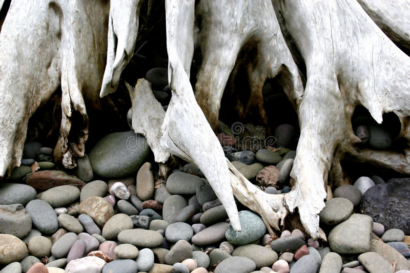 Driftwood Roots royalty free stock images