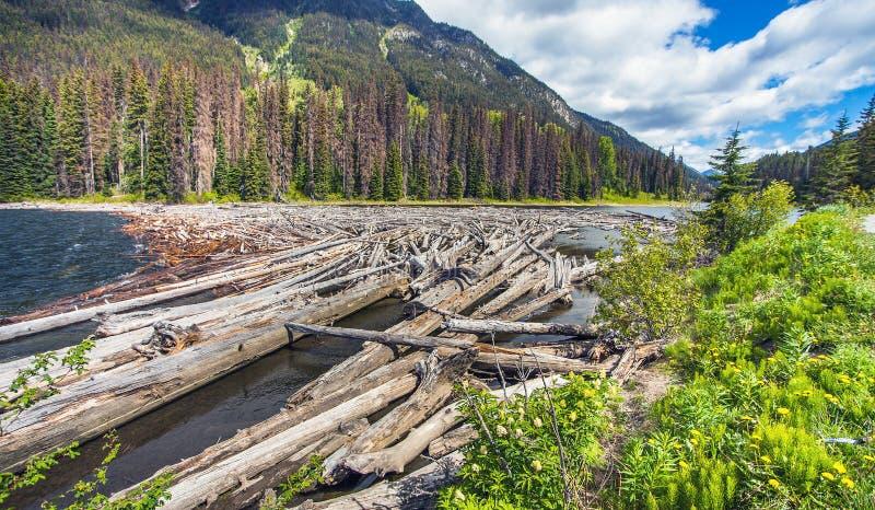 Driftwood w Majestatycznych Halnych Jeziornych kolumbiach brytyjska Kanada obraz royalty free