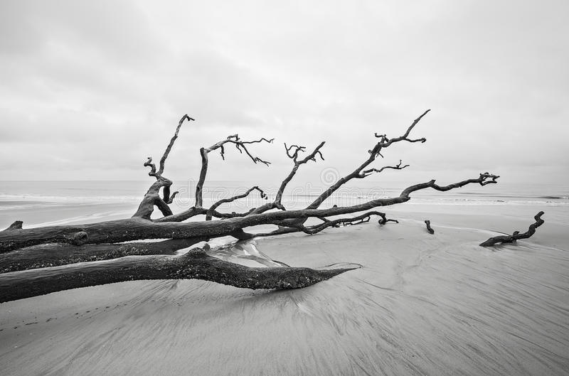 Driftwood and washed out trees at the beach on Hunting Island St. Ate Park of South Carolina stock image