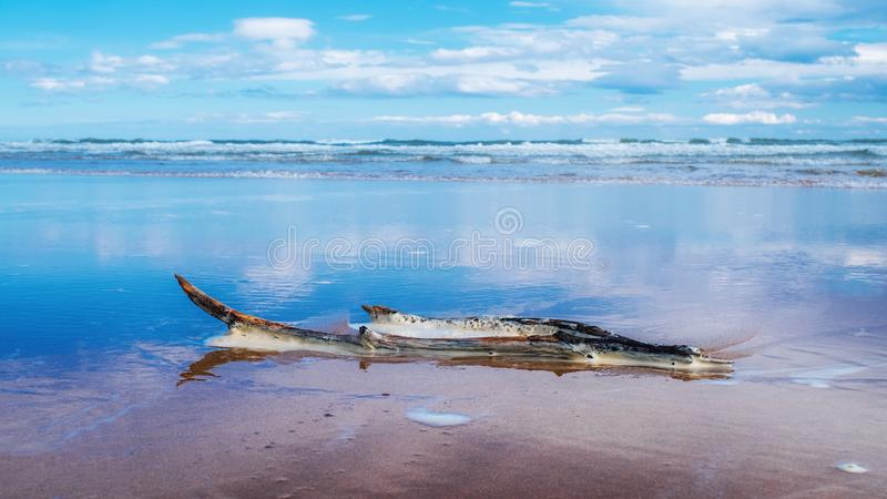 Driftwood washed up on Brora beach royalty free stock image
