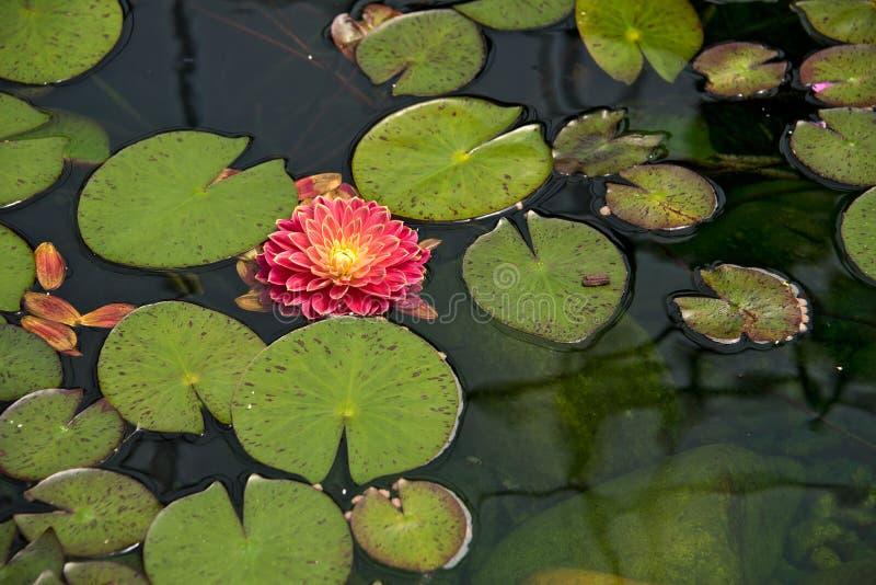 Download Drijvende Dahlia In Leliestootkussens Stock Afbeelding - Afbeelding bestaande uit summer, rood: 54092753