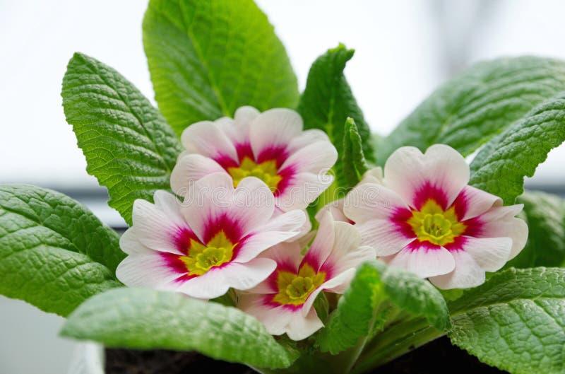 Drijvende primrose in het voorjaar stock afbeelding