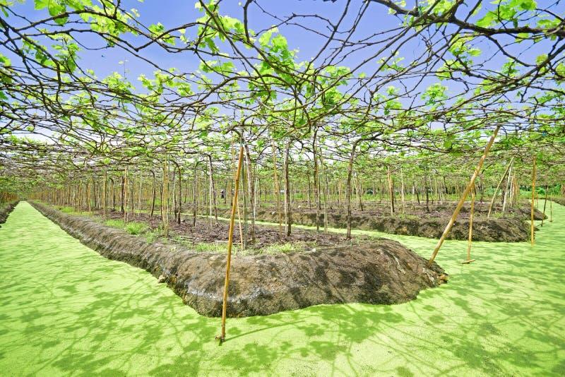 Drijvende Wijngaard in de Provincie van Samut Sakhon, Thailand
