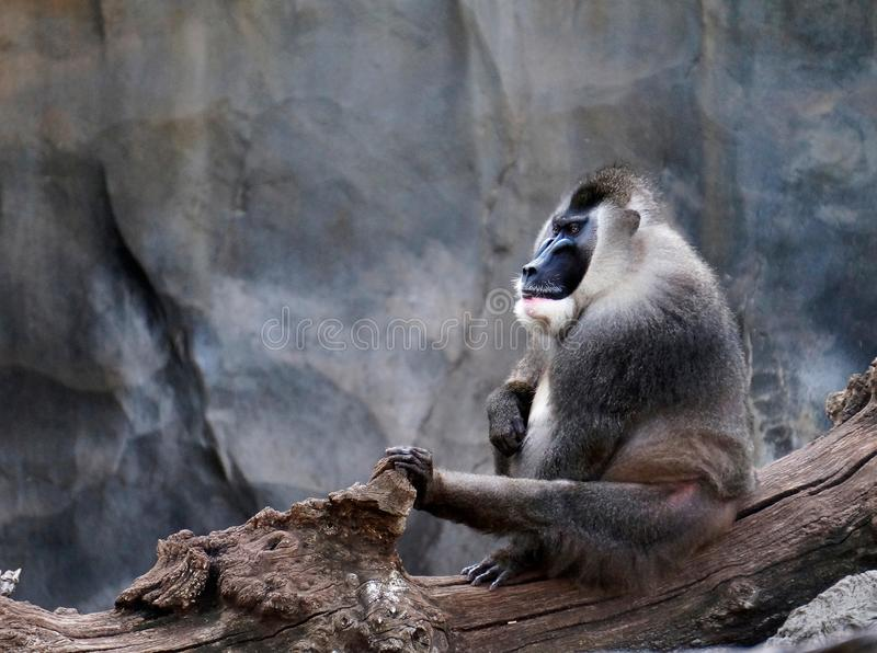 Drill Mandrillus leucophaeus adult male, Pandrillus Sanctuary, monkey royalty free stock image