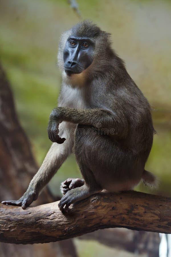 Free Drill Monkey (Mandrillus Leucophaeus). Stock Photography - 70753402