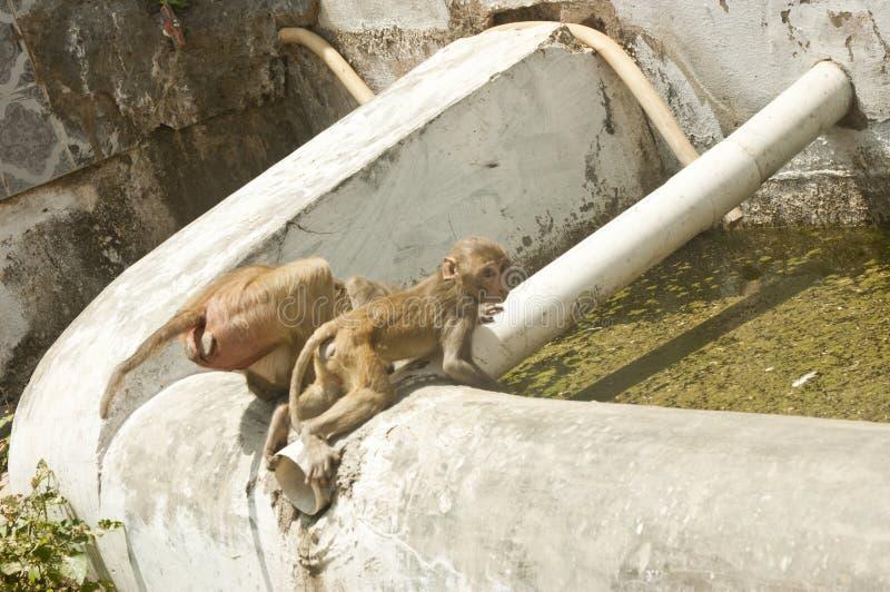 Drinkend reservoir door apen wordt gebruikt die royalty-vrije stock afbeelding
