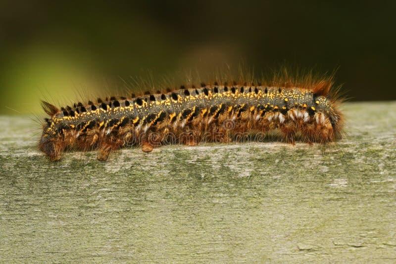 A Drinker Moth Caterpillar Euthrix potatoria walking along a wooden fence. stock photo