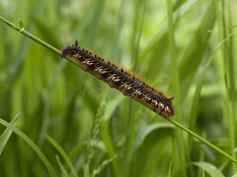Drinker moth caterpillar royalty free stock photography