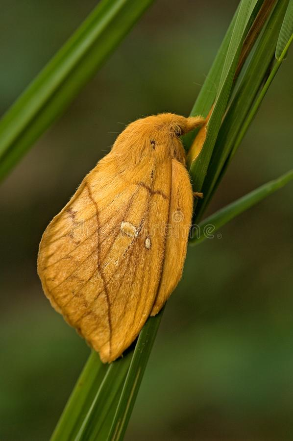 Drinker moth, Rietvink, Euthrix potatoria stock photography