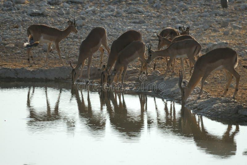 Drinking antelopes in the Etosha National Park, Namibia stock photo