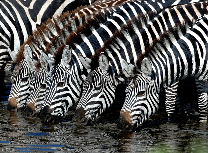 Drinking buddies. Watering holes provide one of the most important elements for survival in an arid climate such as in the serengeti of Tanzania royalty free stock image