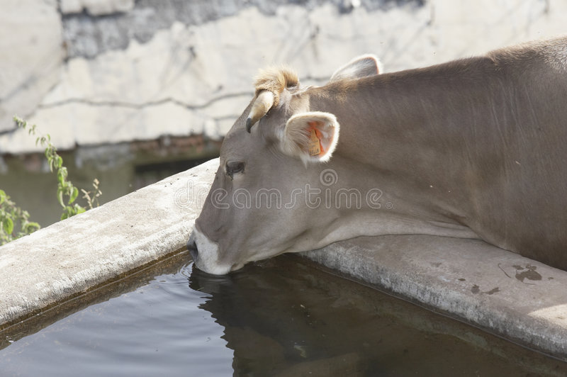 Drinking Cow Royalty Free Stock Images