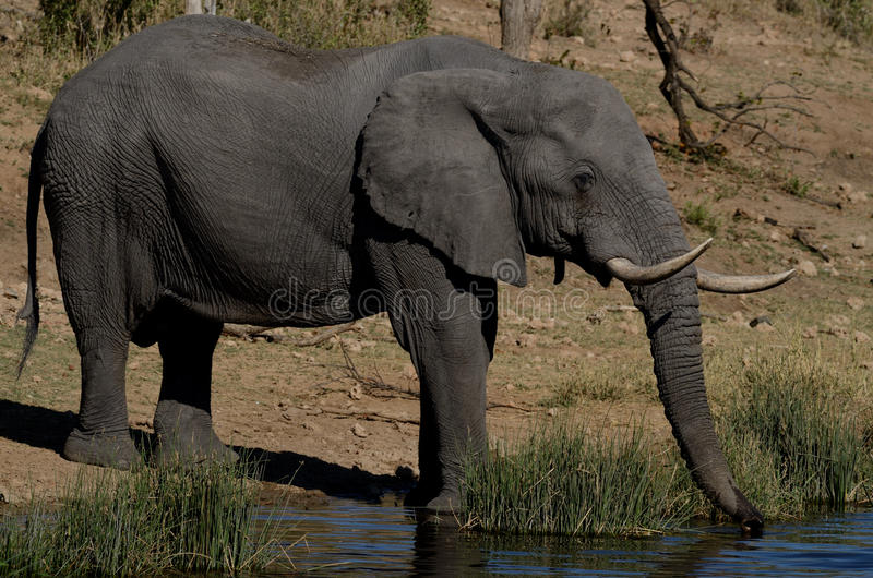 Drinking Elephant. The African Savanna Elephant you can also call African Bush Elephant stock image