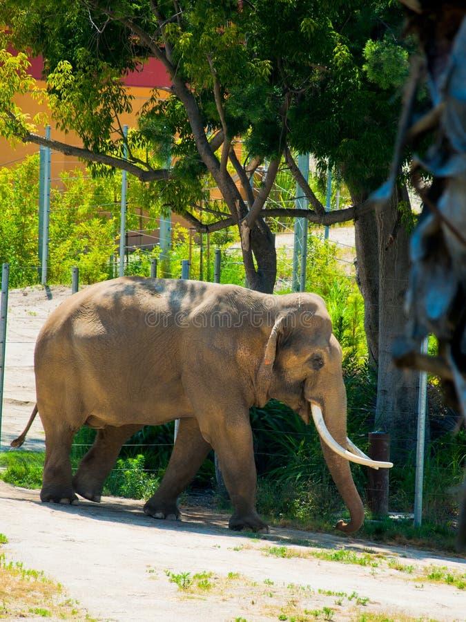 Free Drinking Elephant In African Savanna Royalty Free Stock Photos - 96139838