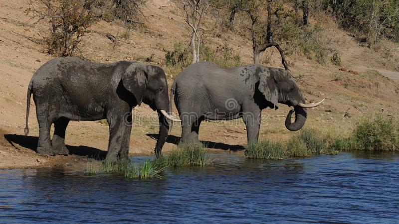Drinking Elephants royalty free stock images
