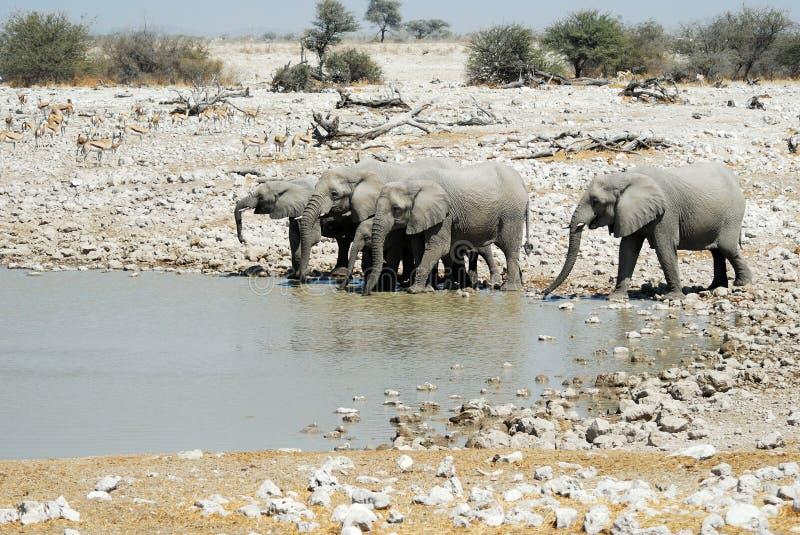 Drinking elephants in the Etosha National Park, Namibia stock photo