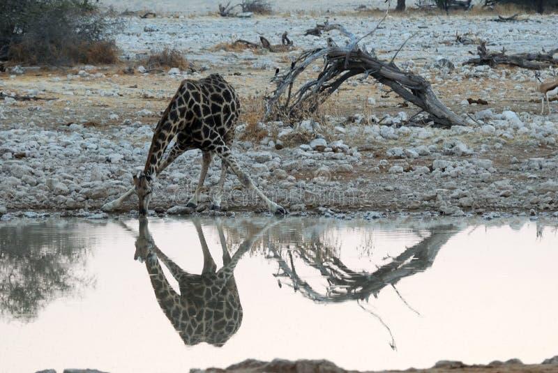 Drinking giraffe in the Etosha National Park, Namibia royalty free stock photo