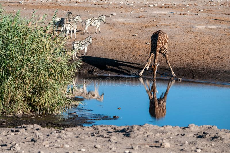 A drinking Giraffe near a waterhole in Etosha stock image