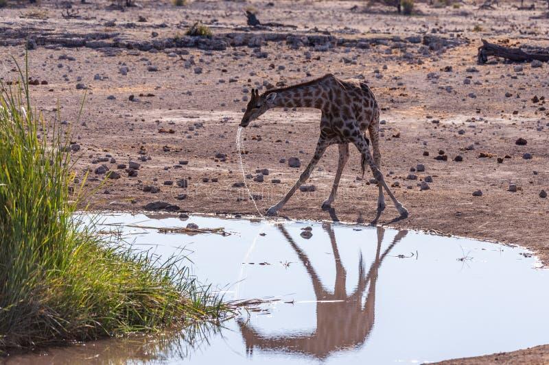 Drinking Giraffe near a waterhole. royalty free stock photography