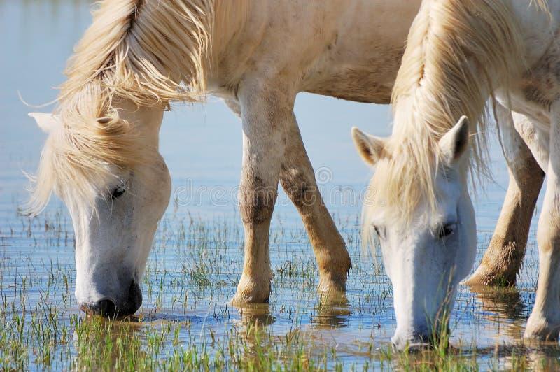 Drinking horses royalty free stock photography
