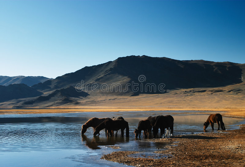 Drinking horses royalty free stock image