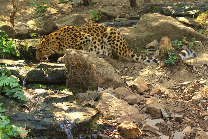 Drinking leopard royalty free stock photography
