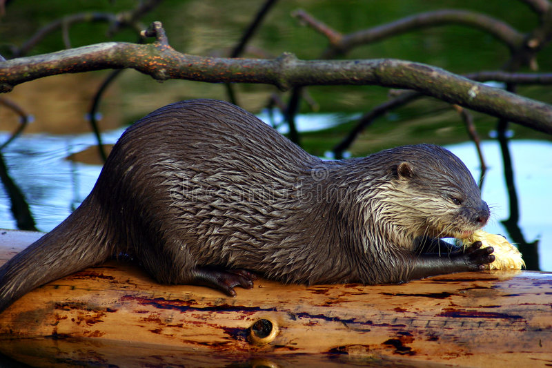 Drinking Otter royalty free stock image