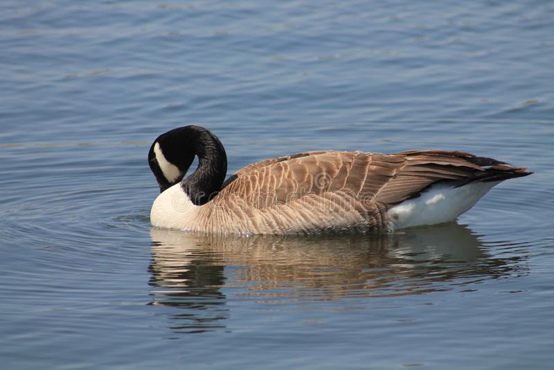 Drinking Goose royalty free stock photo