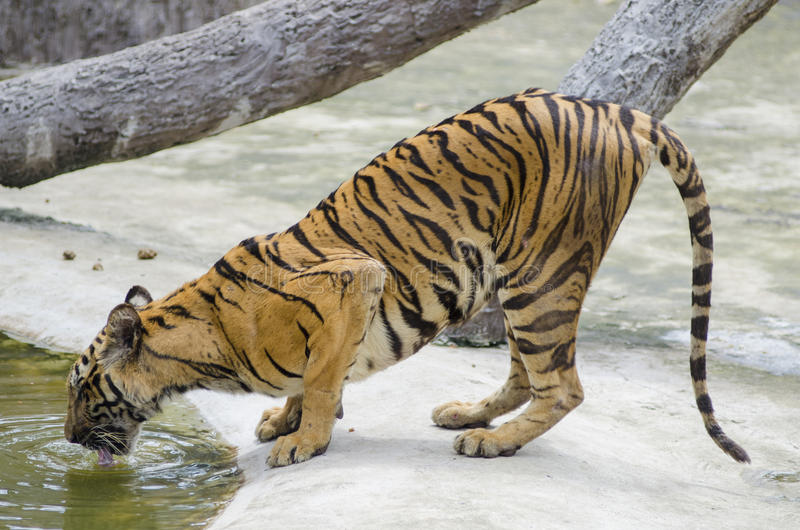 Drinking tiger royalty free stock photo
