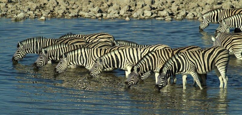 Drinking zebra. Herd of zebra drinking at waterhole in Etosha National Park, Namibia stock image