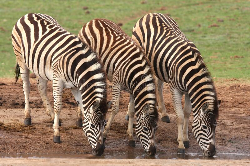 Drinking Zebras. Three zebras quenching their thirst at an African water hole royalty free stock photography
