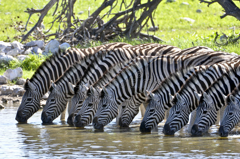 Drinking zebras. At a waterhole royalty free stock photo