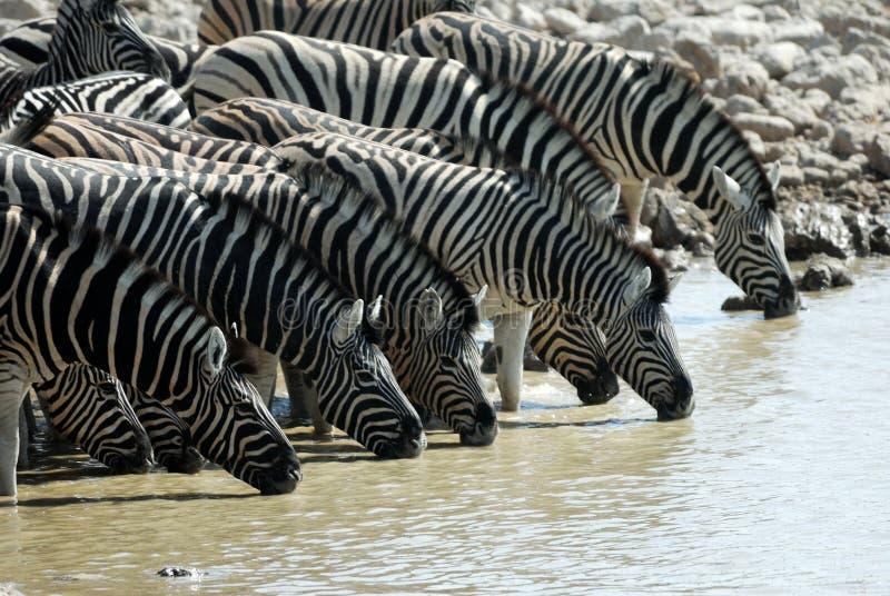 Drinking zebras in the Etosha National Park, Namibia royalty free stock photos