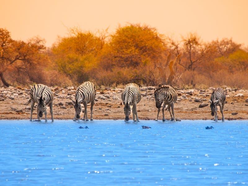 Drinking zebras at waterhole. Five zebras drinking water at waterhole, Etosha National Park, Namibia stock image