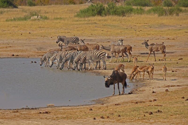 Drinkingplace med sebror, antilopes och koedoes arkivbild