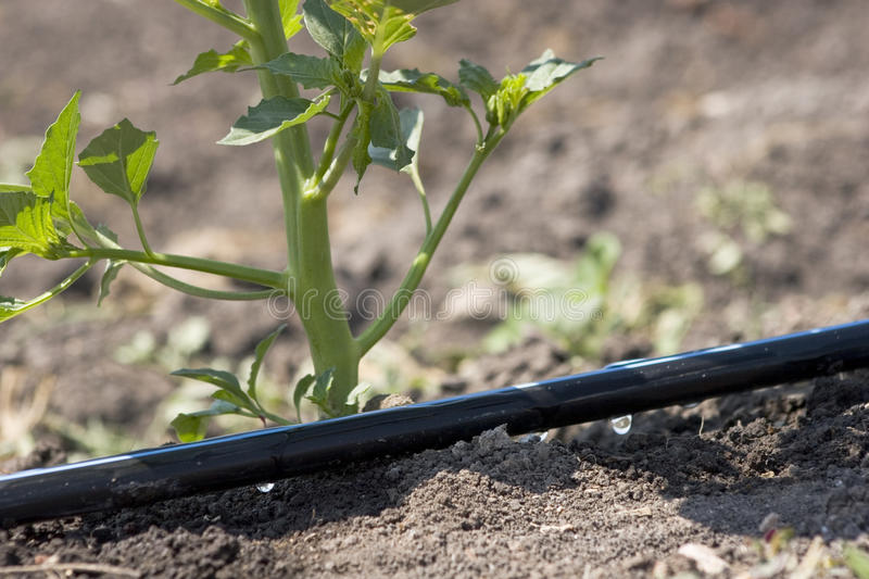 Drip irrigation stock photo