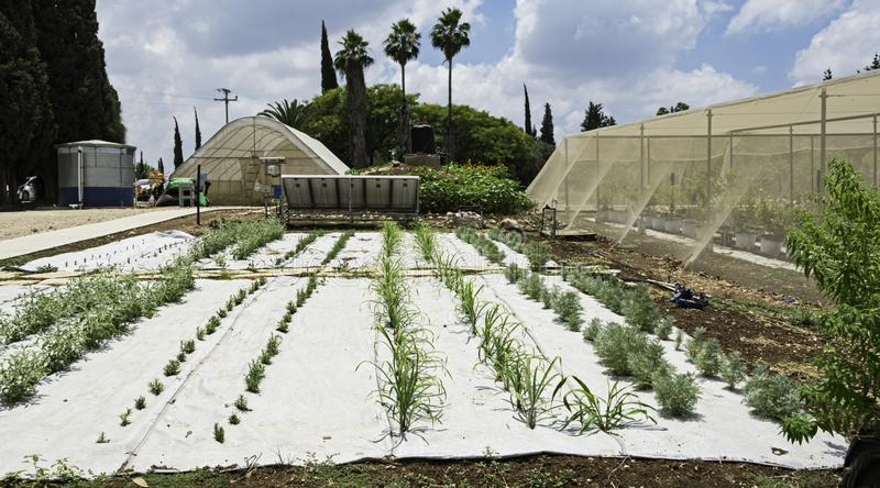 Drip Irrigation and High Tech Mulching in an Experimental Herb Garden in Israel. An experimental herb garden in central Israel showing plastic mulch and drip royalty free stock photography