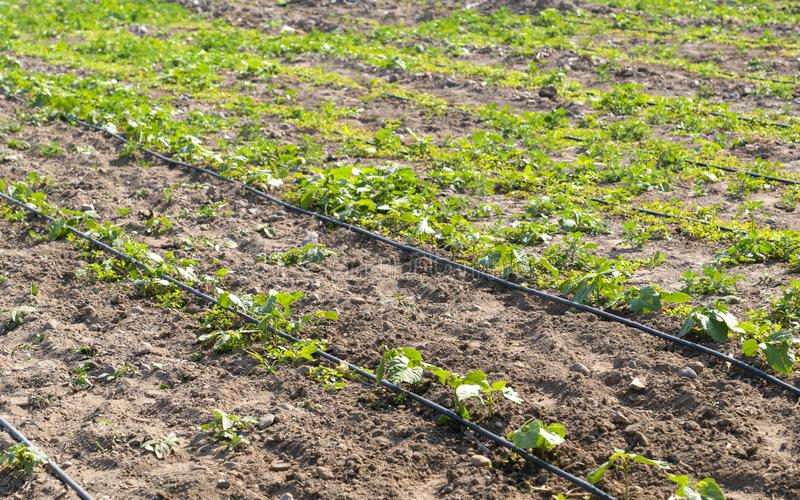 Drip irrigation in vegetable field, selective focus royalty free stock images