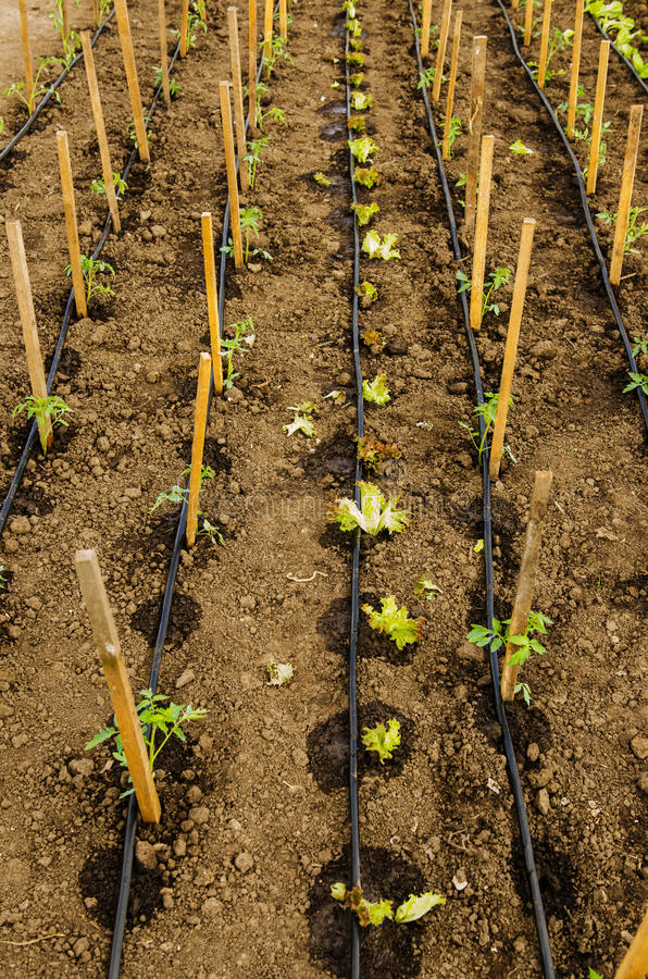 Drip tape irrigation. A drip tape irrigation system installed in a greenhouse stock photography