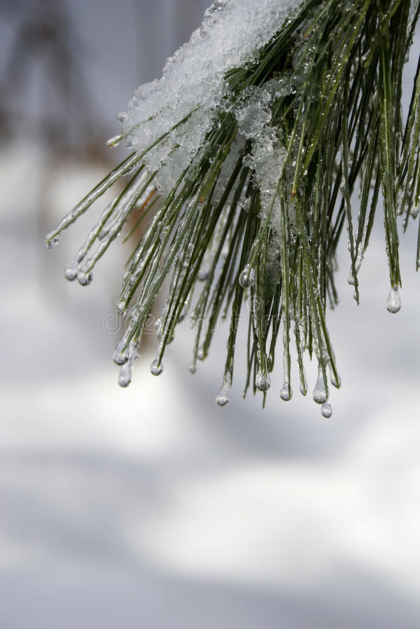 Download Dripping Ice on the Pine stock image. Image of pines - 11273019