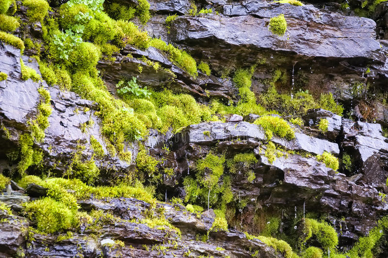 Dripping Moss. Lush green moss on a dripping hillside in Glacier National Park, MT stock images