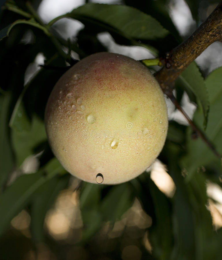 Download Dripping peach stock photo. Image of pink, tree, moisture - 10766722