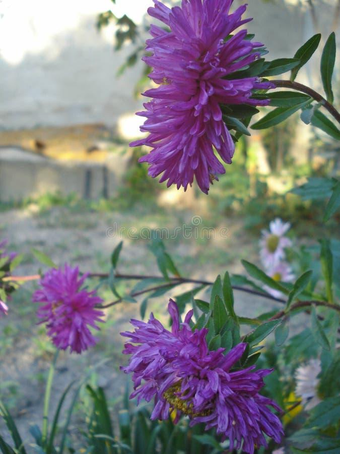 driv purplen fotografering för bildbyråer