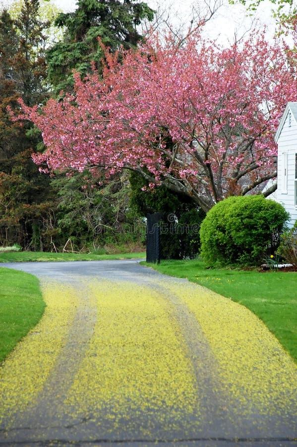 Free Driveway Cherry Tree Blossom Royalty Free Stock Photos - 11242428
